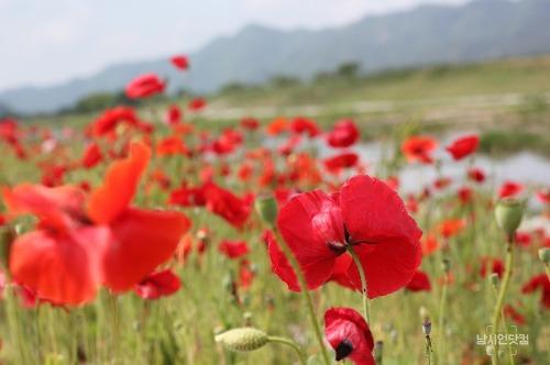 안동 길안 양귀비 길, 안동의 숨은 양귀비 꽃 명소