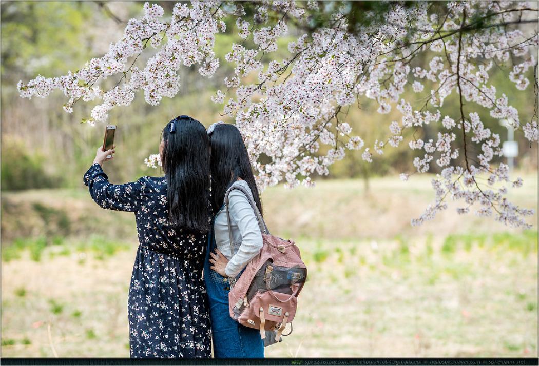 벚꽃, 꽃비가 되어 흩날리다