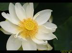 철마면 연꽃지와 두구동 능소화