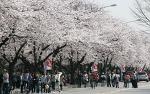 영등포 여의도 봄꽃축제, 4월 여행지 추천 장소로 벚꽃축제 즐기세요