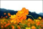 ( 대구 가볼만한곳 ) 하중도의 코스모스,메밀꽃,억새