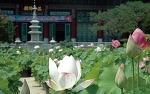 서울연꽃문화대축제와 무안연꽃축제, 제주 한림공원 연꽃축제에서 만나는 연꽃