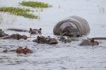 [보츠와나 여행] 초베국립공원 보트 사파리로 만난 동물들