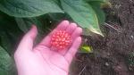 인삼열매(인삼딸) 채종시기