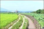 ( 대구 ) 반야월 연꽃(연근) 단지-전국 최대 연근 생산 단지
