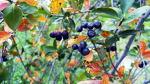 [농사일기] 지난 해 심은 아로니아 성목에서 수확한 아로니아 열매/3개월 정도는 꾸준히 먹어야 좋은 아로니아/아로니아 효능과 부작용/아로니아 효능 효과/아로니아 먹는 방법/죽풍원의 행복..