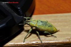 [외국곤충] 황초록바구미를 닮은 바구미류