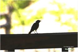 A singing bird - 노래하는 새