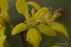 갈피미아 그라킬리스(Galphimia gracilis), 긴꾸따루