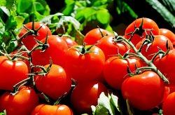 토마토 효능과 토마토 고르는 방법