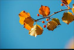 결실 - 18 (팥배나무, 아그배나무, 감, 산사나무, 은행나무 열매)