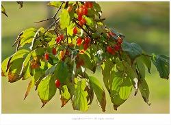 산수유나무열매(산수유)효능 - 정력강화.발기부전.조루.간과신장보호.허리와무릎통증.식은땀.현기증.요실금/약용식물