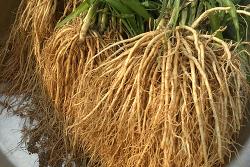 삼채효능과 삼채무침(삼채뿌리 무침)만드는법