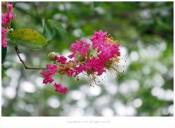[8-9월 꽃나무] 배롱나무(백일홍나무.간지럼나무) - 혈액순환.지혈.여성질환 효능