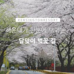 [부산] 해운대 달맞이 벚꽃 길