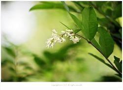 [5월 흰꽃나무] 진한 향기 쥐똥나무꽃 이야기
