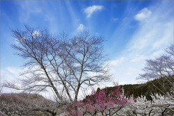 양산 원동매화축제 2018 3월 봄꽃축제 여행지