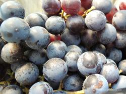 [경북영천당일] 경북사이소 농장체험 - 영천 와이너리 팸투어! (포도수확하기 + 와인 만들기)