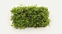 Microgreens: All You Ever  Wanted to Know, Plus How to Grow Them