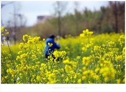 대저 생태공원 유채꽃이 있는 풍경