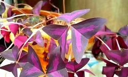 실내에서도 잘 자라는 자주잎 옥살리스 사랑초 키우는 법