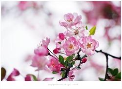 연분홍 꽃잎이 아름다운 서부해당화