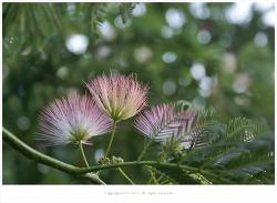 자귀나무(합환피.합혼수)효능- 신경쇠약.불면증.건망증.통증.인후염.골절상/약용식물