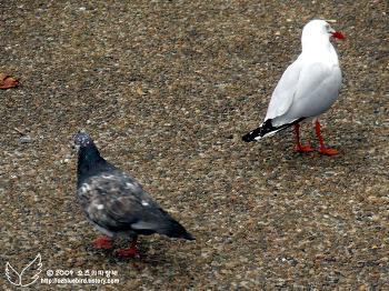 ♡ 비둘기와 갈매기?