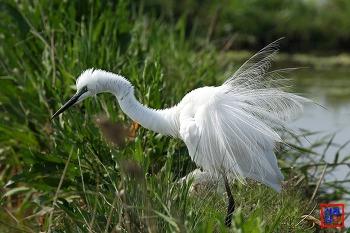 대백로 여름깃(혼인색) 그리고 미꾸라지 사냥