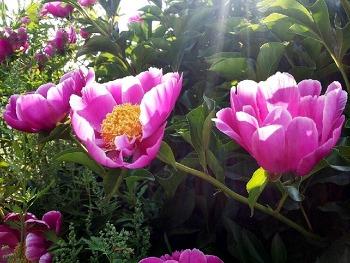 5월의 꽃 작약 - 화려함 뒤에 숨겨진 수줍음