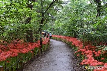 천년의 숲에 핀 붉은 물결. 함양 상림공원 꽃무릇 | 함양 가볼만한곳