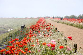 매혹적인 꽃 양귀비가 천지를 이루는 함안둑방!(함안여행/함안명소)
