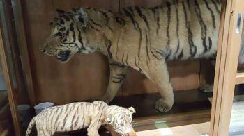 '대호' 멸종된 조선 호랑이가 일본에 있다?