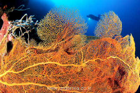 seafan & diver, Moal Boal, Philippines