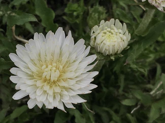 하얀꽃 민들레