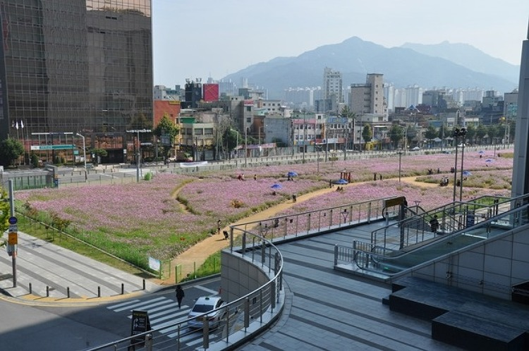[경기도] 의정부시, 구.캠프 홀링워터 자리에 가을꽃 코스모스 광장 개방