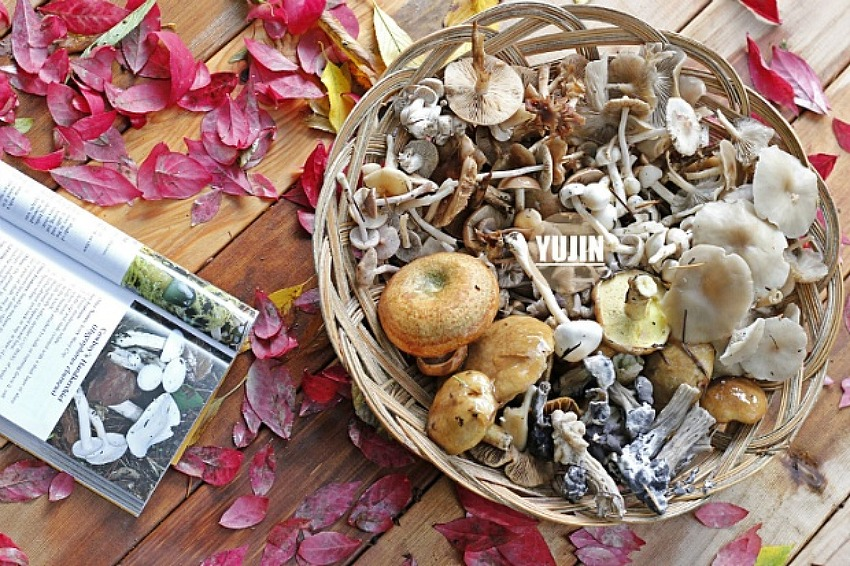 세계적으로 유명한 식용버섯, 우리집 앞마당에..