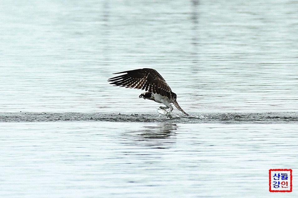 2016년 형산강 물수리의 숭어 사냥