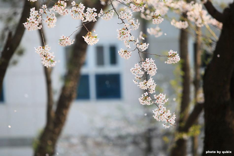 경기도청 벚꽃 |수원 가볼만한곳, 경기도 벚꽃명소, 팔달산