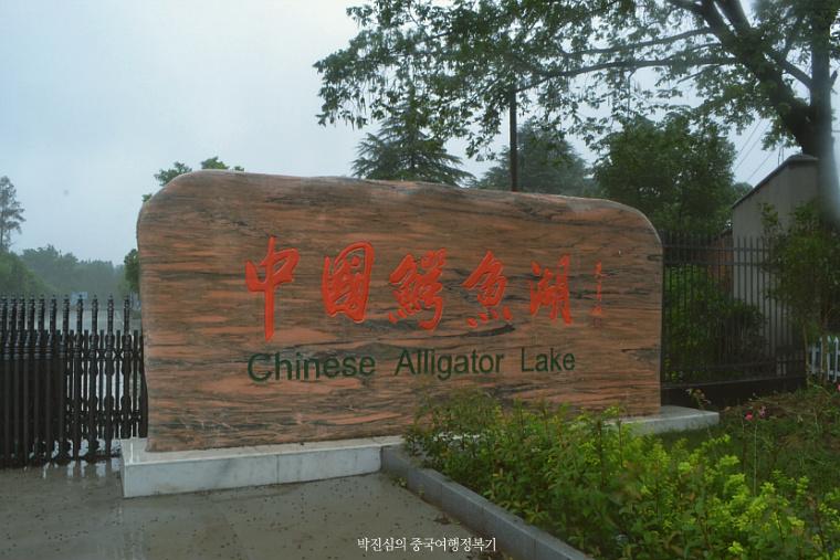 멸종위기에 처한 중국 희귀 동물 양쯔강 악어(扬子鳄鱼)! 양쯔강 악어에게 먹이 주기! (안휘성1-2호)