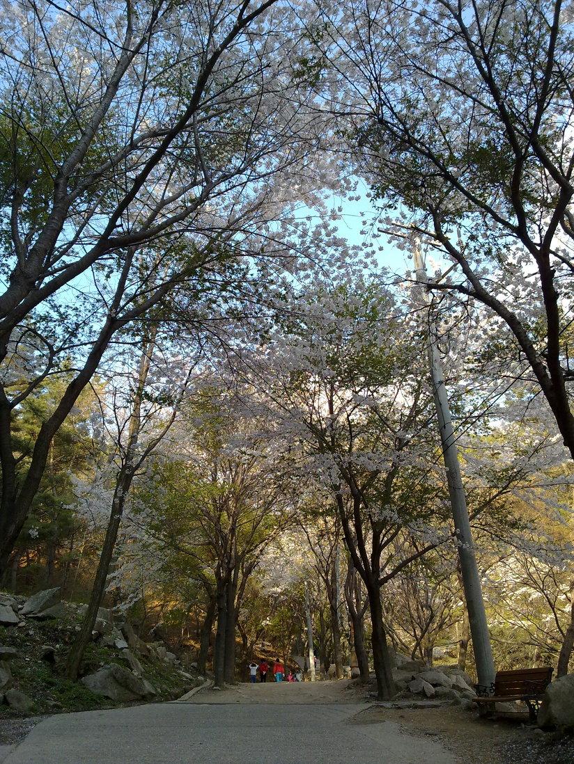 4월 23일 팔공산 갓바위 가는 길에 벚꽃