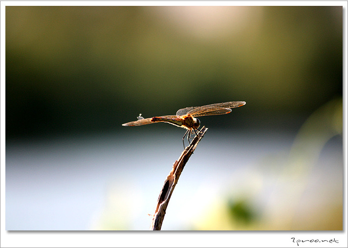 잠자리, 잠자리 사진, 잠자리 접사, 잠자리 접사 사진, 잠자리 몰카, 잠자리 몰카사진, 몰카, 잠자리 예술사진, 사진, Dragonfly
