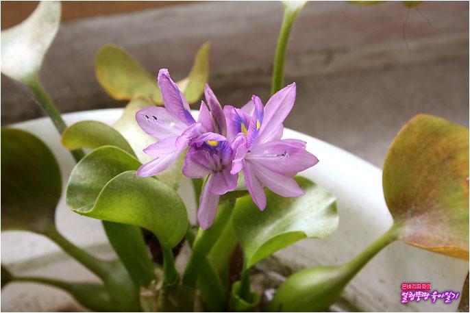 부레옥잠 꽃