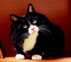 고양이, 코숏, 턱시도 냥이, 턱시도 고양이