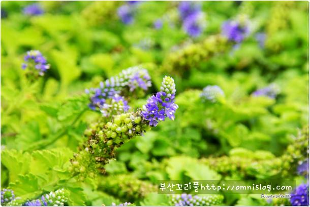 세계 유일 부산원산지 부산꼬리풀- Pusanensis::OmnisLog