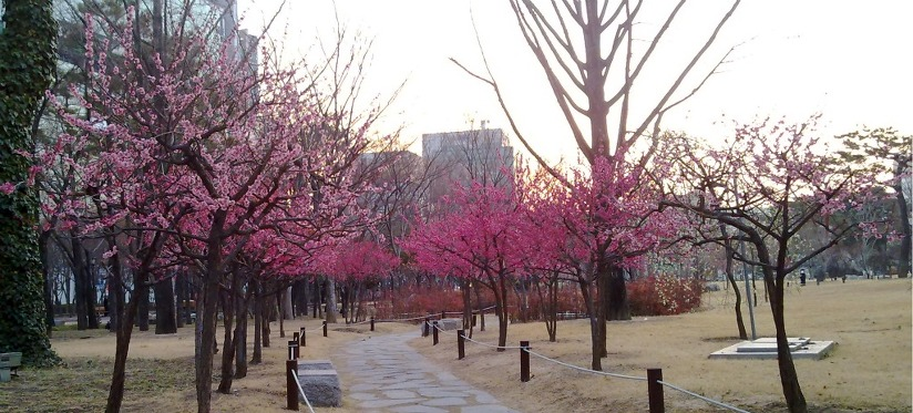 국채보상공원에 활짝 핀 매화꽃