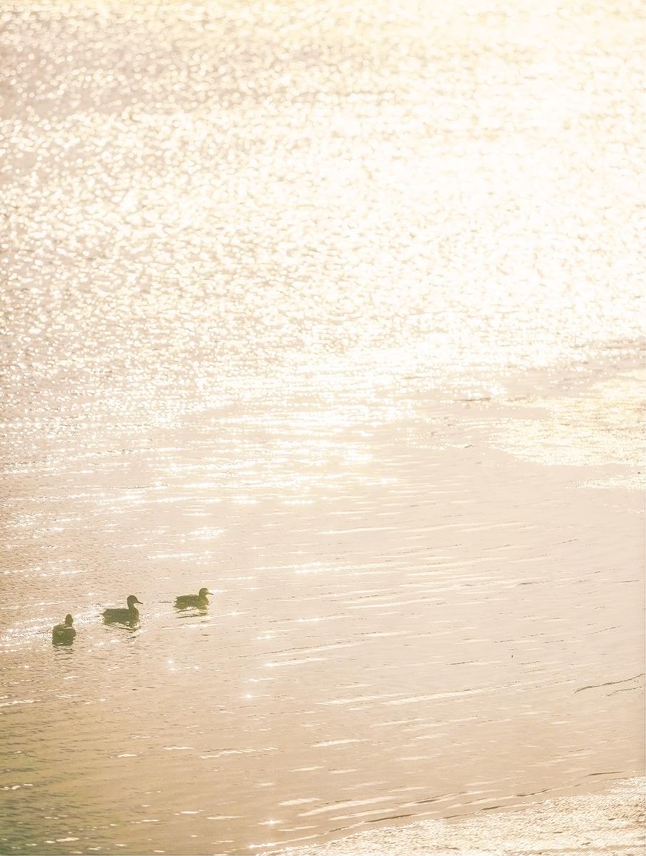 금빛물결 순천만에 새끼오리들이 헤엄치는 사진.