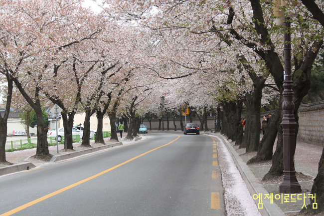경주, 대릉원, 벚꽃길