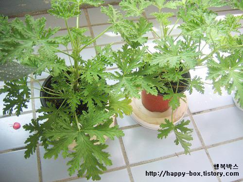 집안에 모기 없애는 방법 '페트병 모기덫 만들기 VS 모기퇴치식물 구문초 키우기,구문초 효과'