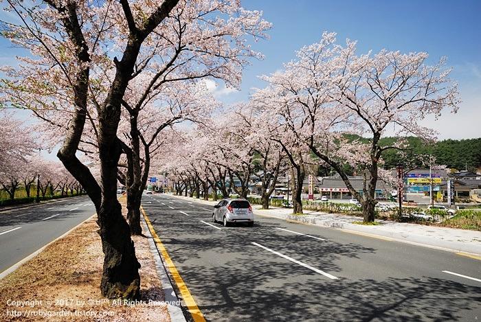 경주 보문단지 벚꽃 엔딩